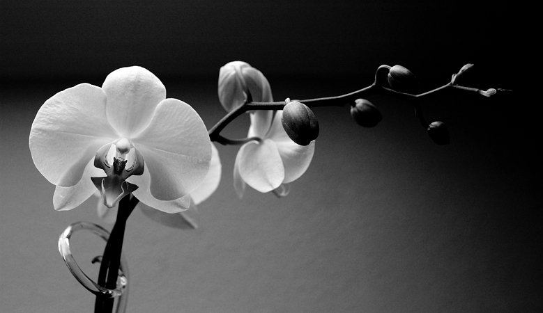 2009-07-12 orchid / orchidee